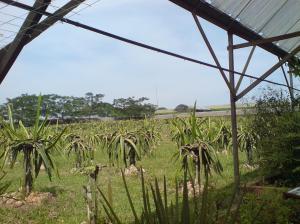 Organic dragon fruits farming